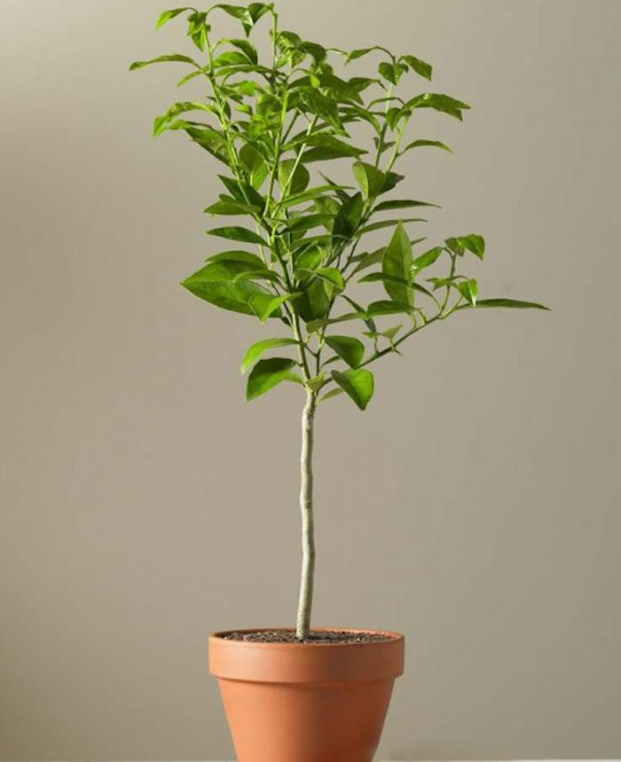 Dwarf Lime Topiary Gardenista