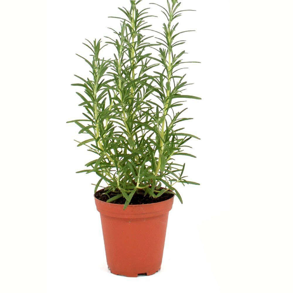 5 Favorites The Perfect Rosemary Gardenista