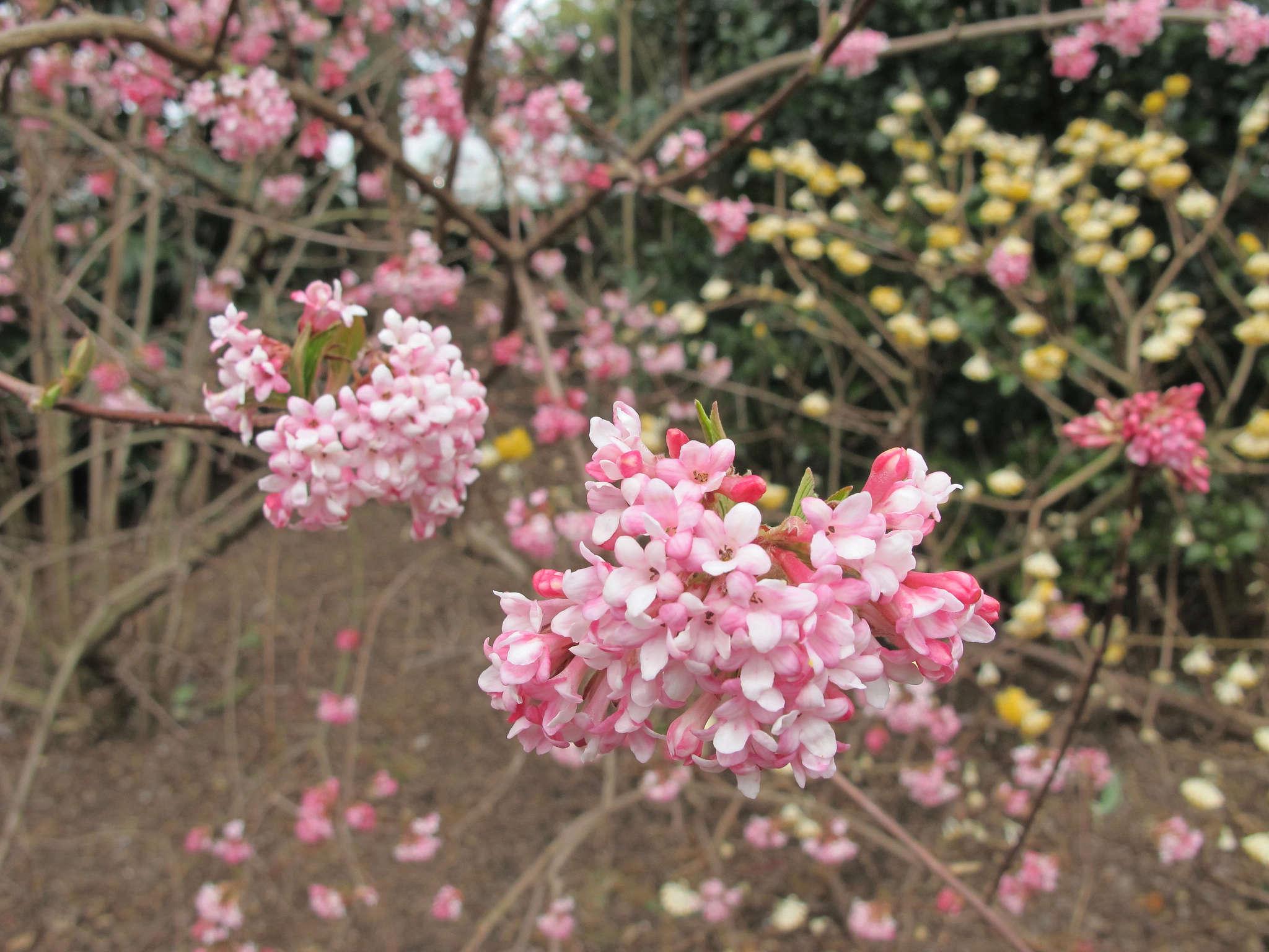 Winter viburnum pretty in pink gardenista mightylinksfo