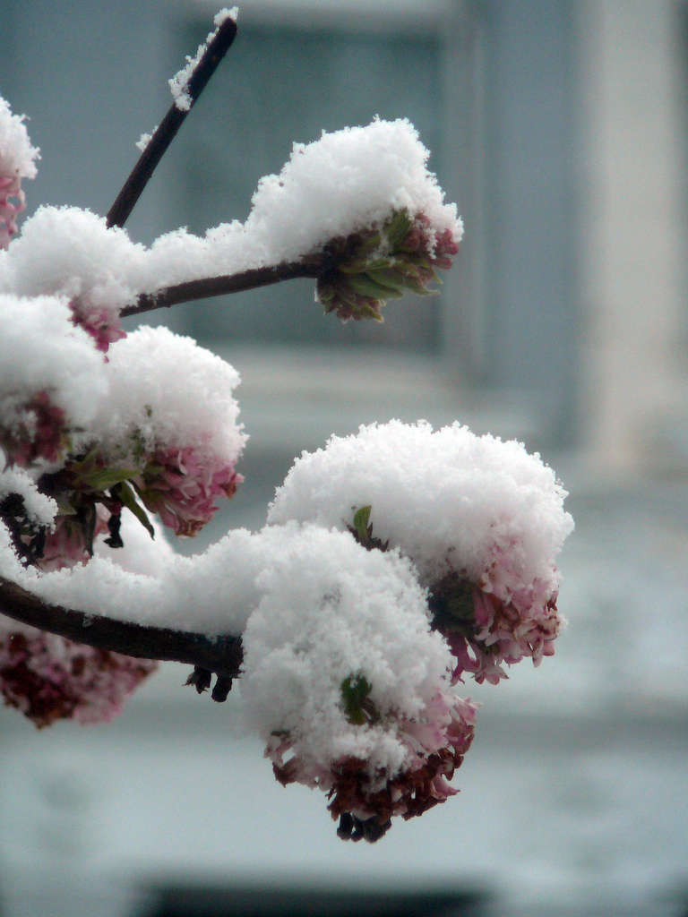 Photograph by Phil Jackson via Flickr.Growing well throughout the UK and in US zones 6 to 9, Viburnum Bodnantense can be found at many local nurseries and src=