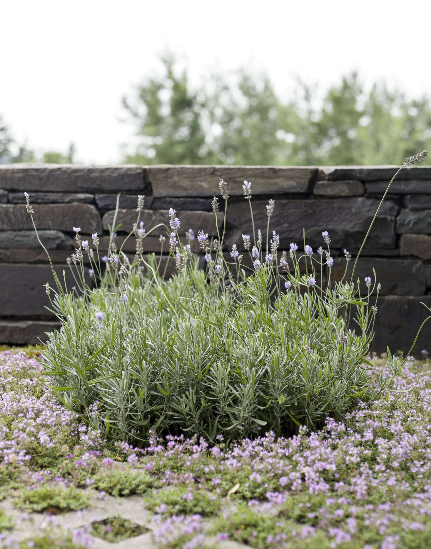 Flowering thyme and rosemary grow in Grasscrete concrete pavers on a patio that architect Steven Harris and landscape architect Lucien Rees Roberts built at their precisely detailed weekend retreat on a 50-acre swath of land in upstate New York. Photograph by Matthew Williams for Gardenista.