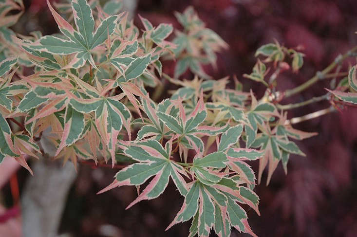 Japanese maples with variegated leaves include Acer Palmatum 'Beni Schichihenge', an upright variety  that grows from 10 to 12 feet; available at Maple Ridge Nursery. Photograph via Connon Nurseries.