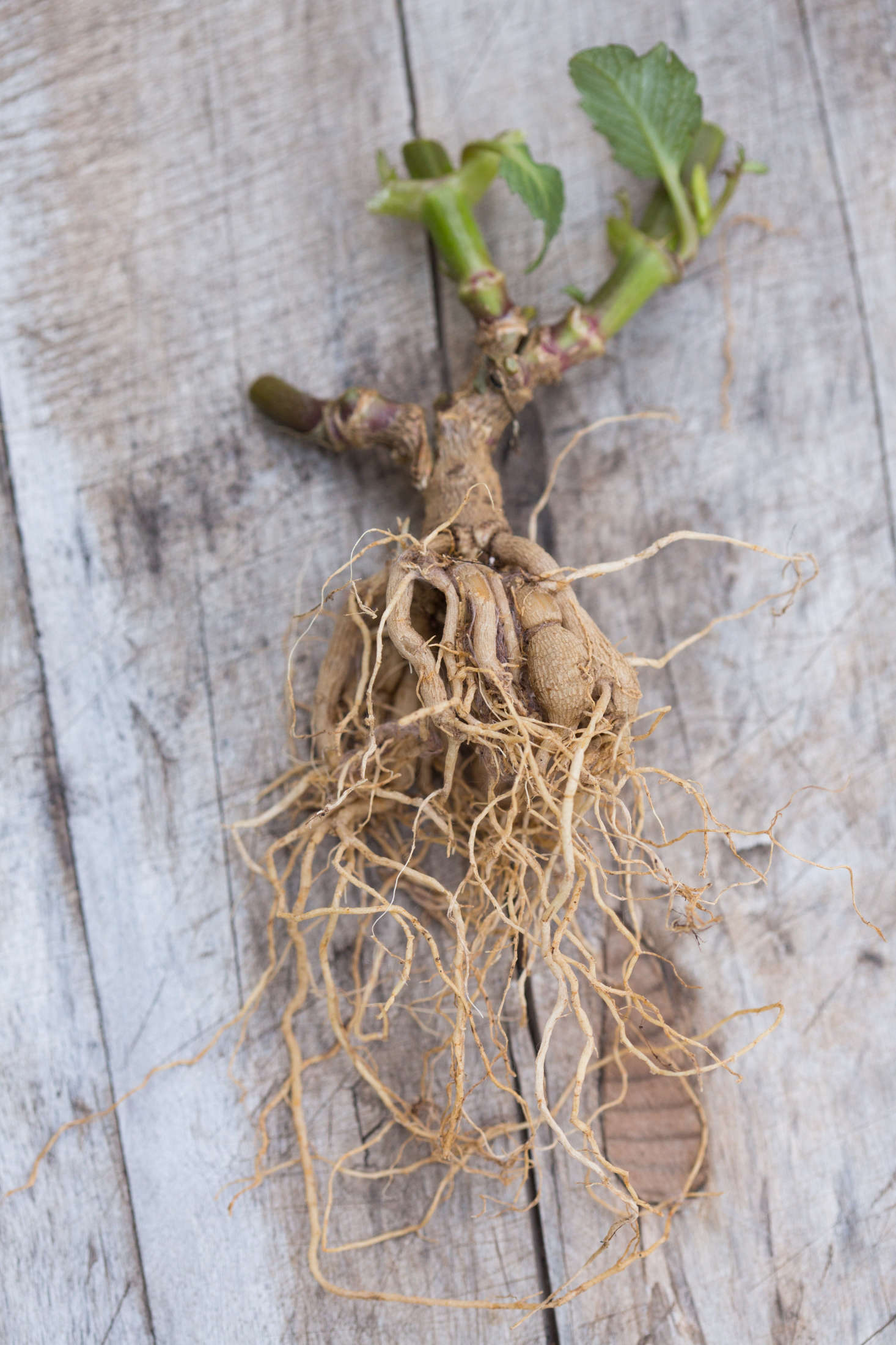 Diy How To Store Dahlia Tubers In Winter Gardenista
