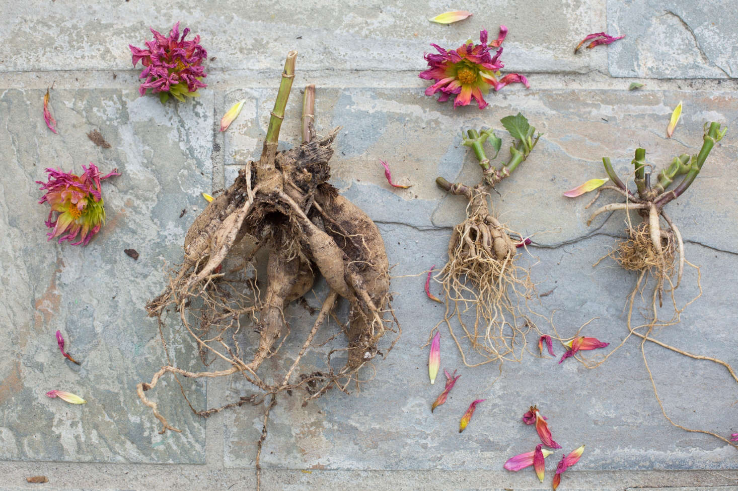 Photograph by Mimi Giboin for Gardenista, from DIY: How to Store Dahlia Tubers in Winter.