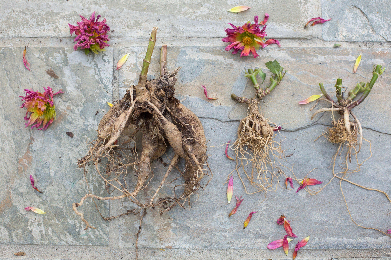 Diy How To Store Dahlia Tubers In Winter Gardenista