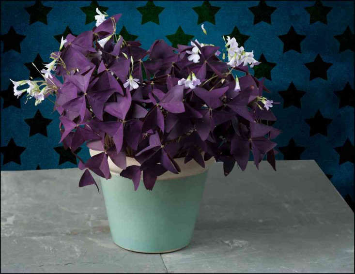 purple shamrock oxalis houseplants - House Plants