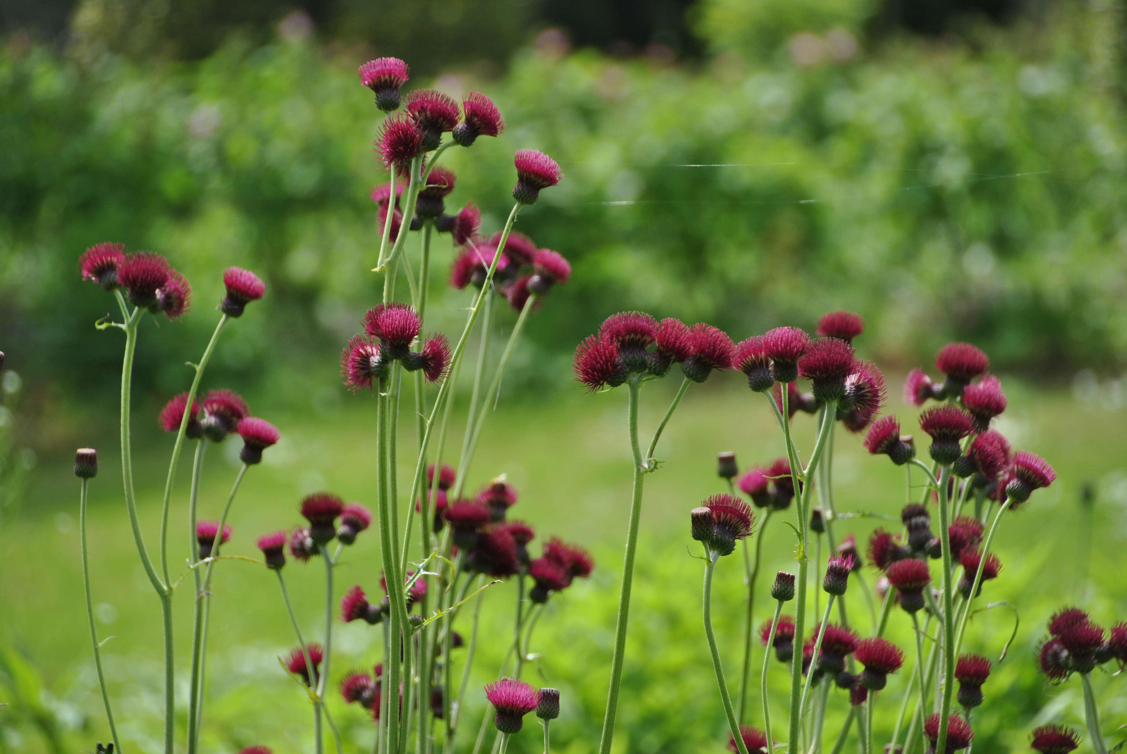 5 Favorites Garden Friendly Thistles Gardenista