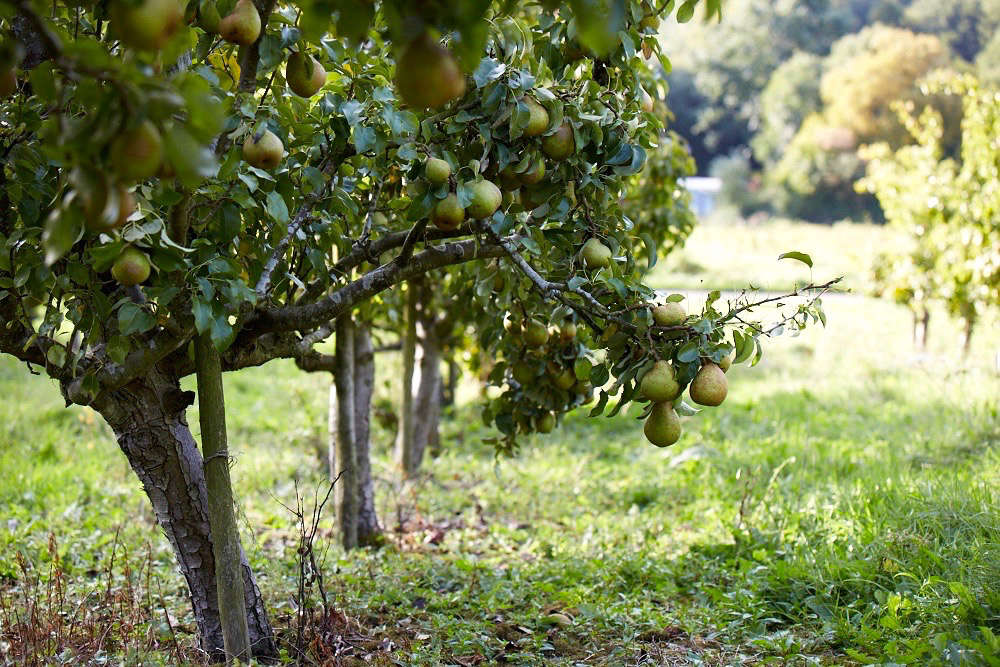 Pear Fruit Tree Pictures