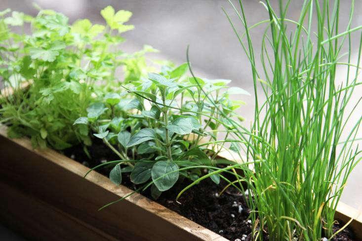 5 Quick Fixes Grow Herbs On A Windowsill Gardenista