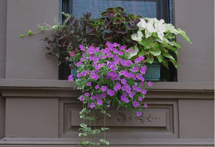 For more ideas to mix coleus with vines and flowering plants in city window boxes, see The Most Beautiful Block in Brooklyn. Photograph courtesy of Brooklyn Botanic Garden.
