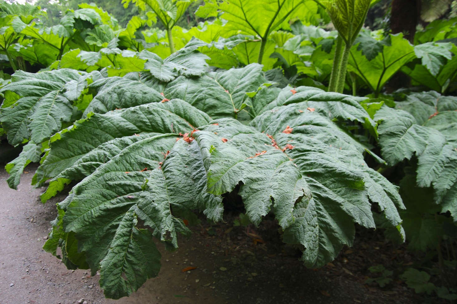 Gunnera in the garden. Photograph by Kathryn Yengel via Flickr.