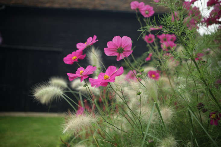 Interplanted with fuzzy-headed grass�Pennisetum villosum,�pink cosmos Dazzler will keep blooming all summer if you cut back spent flowers. See more at In the Garden with Philippa: Brit Style with a Black Backdrop. Photograph by Jim Powell.
