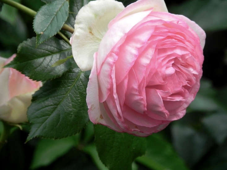 Hardy Shrub Roses, Dundee Nursery and Landscaping Fact Sheet, Plymouth, MN, Minneapolis