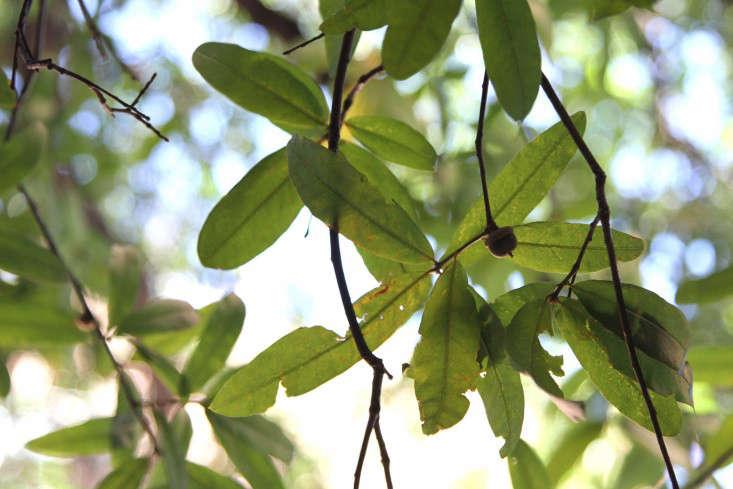 Green Fruit Tree Identification Part - 37: 1-city-tree-identification-erinboyle-gardenista
