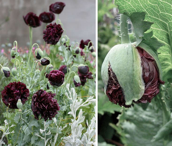 11 Black Flowers Every Garden Needs Papaver Black