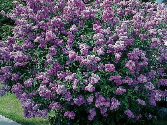 Lavender Lady Lilac Shrub
