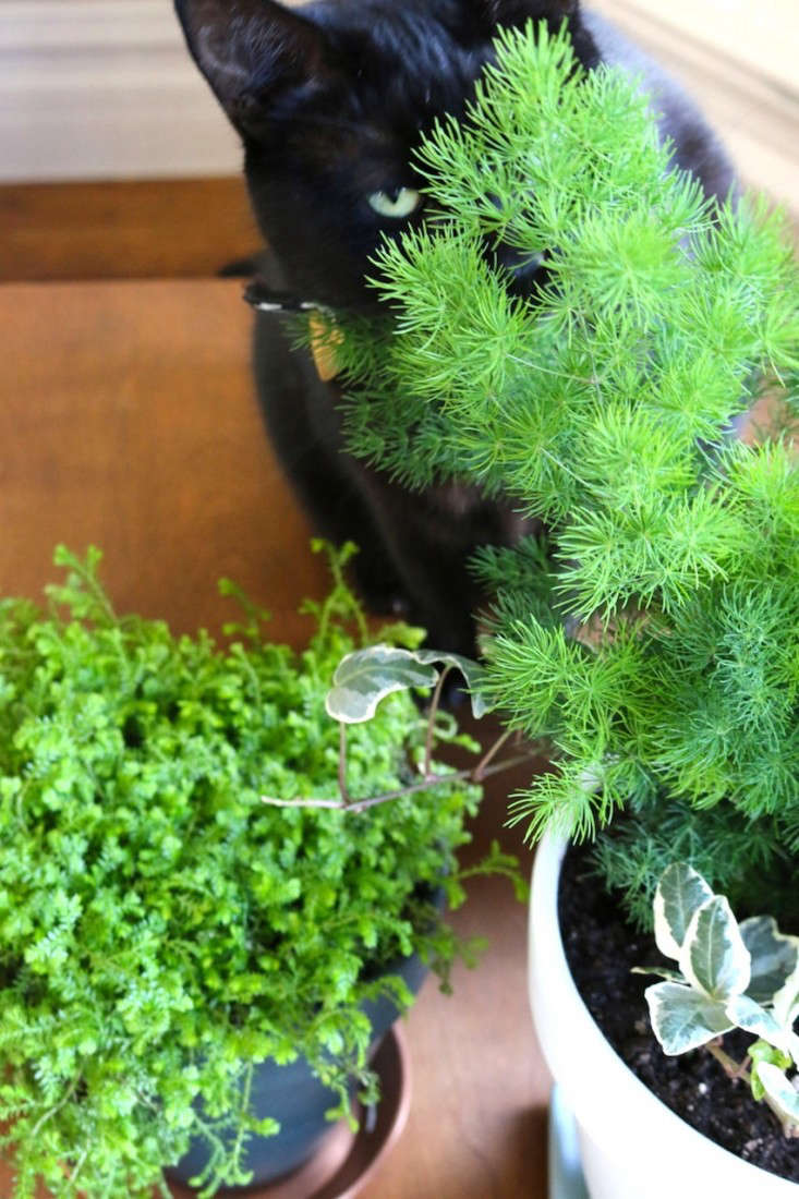 Design Poisonous Houseplants For Cats ask the expert will a poisonous plant really kill your pet it turns out asparagus fern is also toxic to both dogs and causing allergic dermatitis vomiting or a