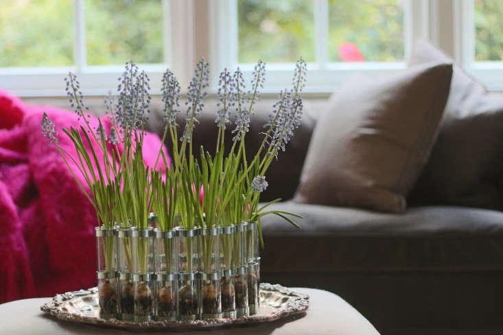 Diy How To Force Muscari Bulbs Gardenista
