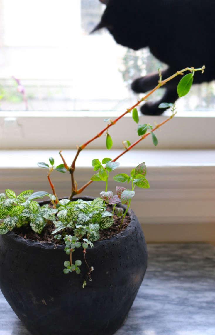 Oleander As Houseplant on