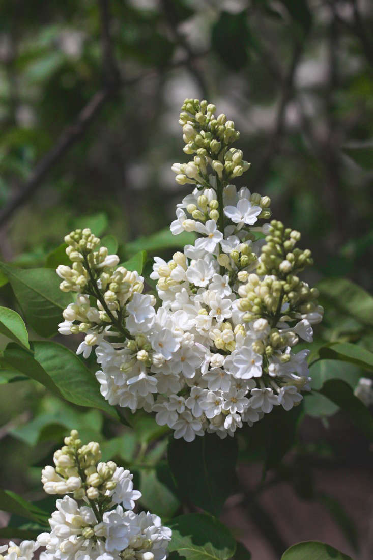 With abundant white blooms, Syringa vulgaris &#8