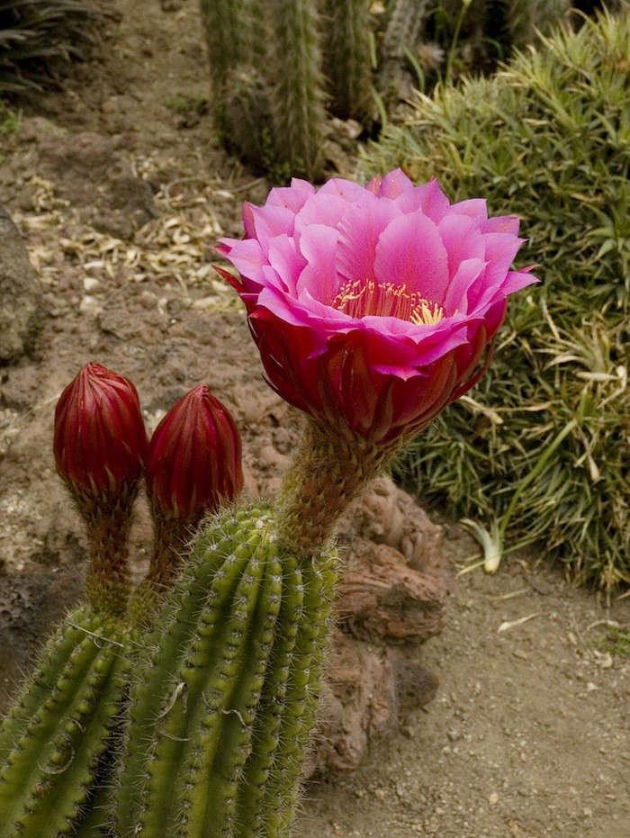 Huntington-Desert-Garden-Trichchocereus-Hybrid