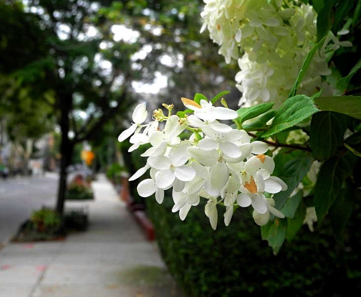 A hydrangea greets passersby in Brooklyn. Photograph by Jeanne Rostaing.