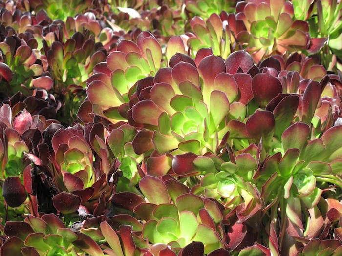 Janet-Hall-Huntington-Desert-Garden-Aeonium-Zwartkop