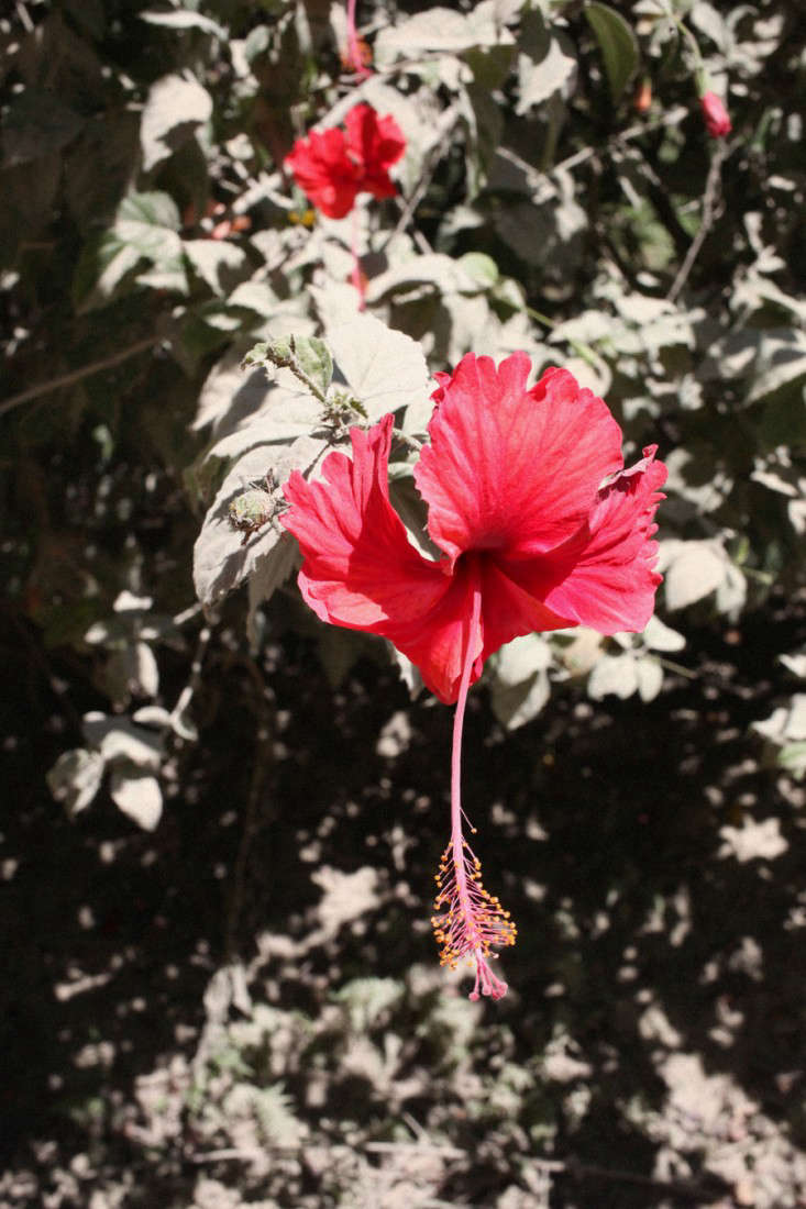 Bouquet Of The Week Foraging For Hibiscus In Costa Rica Gardenista