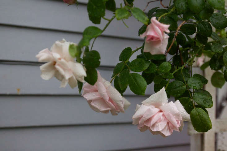 Cape Cod Rose Part - 47: New Dawn Rose Bouquet, Rose Detail, By Justine Hand For Gardenista