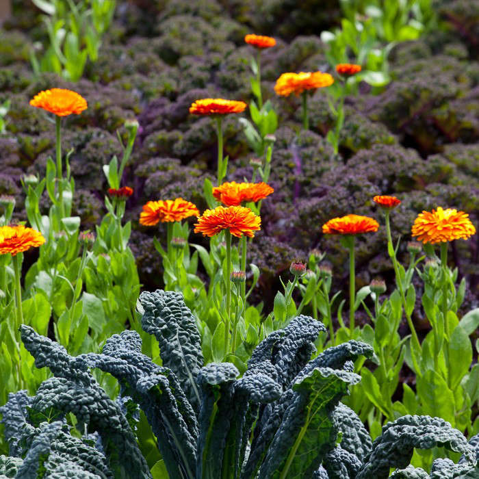 Kale and calendula are happy companions in British gardener Sarah Raven's garden. For more, see Ask the Expert: Sarah Raven's 10 Tips for Growing a Kitchen Garden. Photograph by Jonathan Buckley.