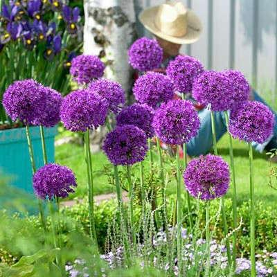 allium bulbs purple sensation. Black Bedroom Furniture Sets. Home Design Ideas