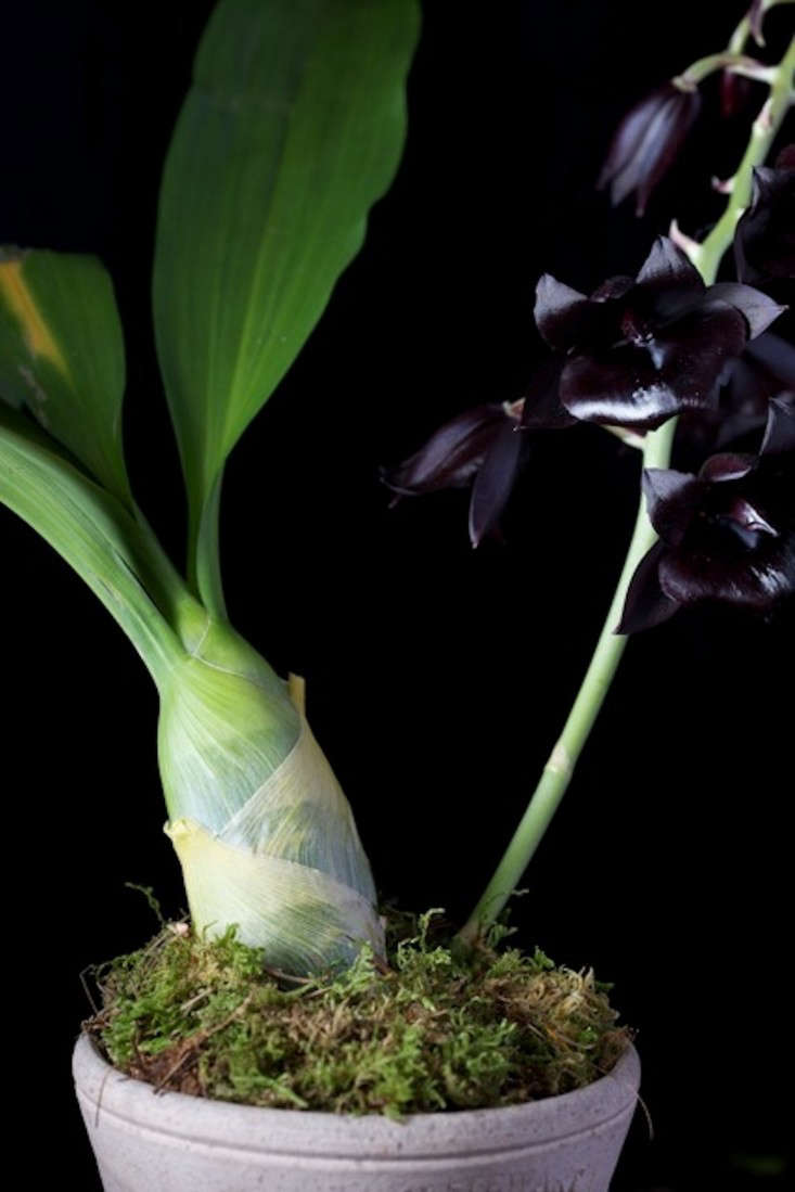In Search Of A Scent The Black Orchid Gardenista