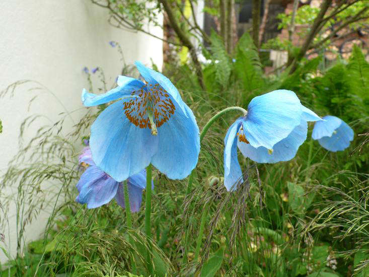 The latest trends in english gardening brought to you from the above reliable color came from the blue poppy which is not a poppy at all but meconopsis lingholm it likes cool growing conditions thank goodness mightylinksfo