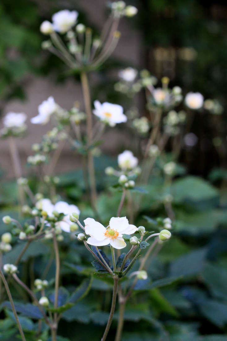 Fall Blooming Anemones For Autumn Color Gardenista