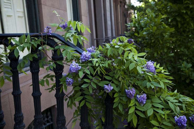Wisteria how to grow and tame the perennial flowering vine wisteria on a railing mightylinksfo