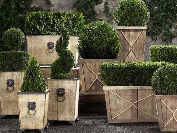 Live Boxwood Topiary