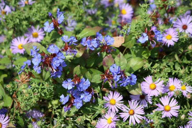 A 3.5-inch-square pot ofCeratostigma Plumbaginoides is $12.95 from Bluestone Perennials.