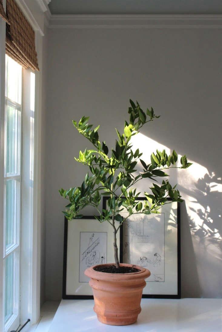 Winter Is Coming How To Keep An Indoor Citrus Tree Happy