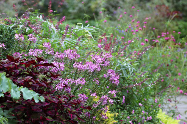 See more at Cleome: A Field Guide to Planting, Care & Design. Photograph by Marie Viljoen.