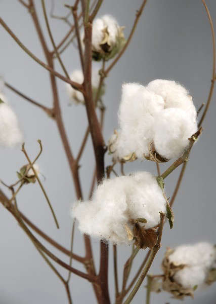 Cotton Branches With Raw Cotton Bolls