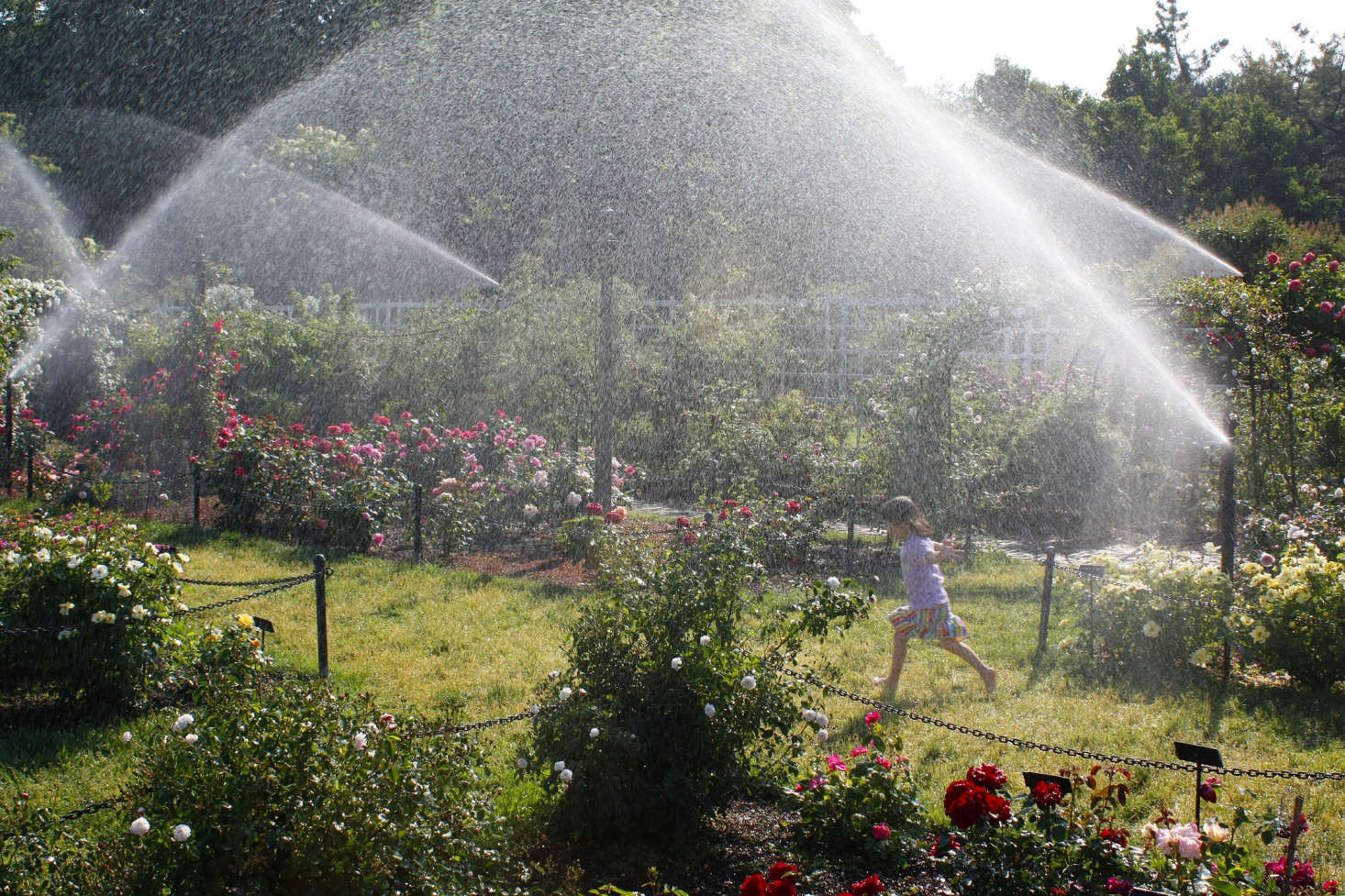 Well-timed sprinklers spray water in the Cranford Rose Garden at the Brooklyn Botanic Garden. Photograph by Marie Viljoen.