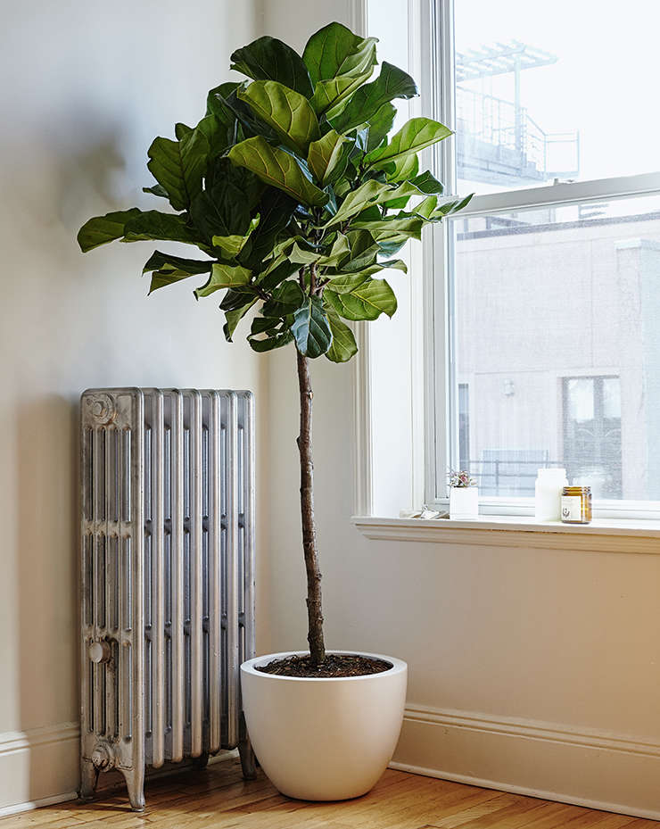 Considering The Fiddle Leaf Fig Tree Gardenista