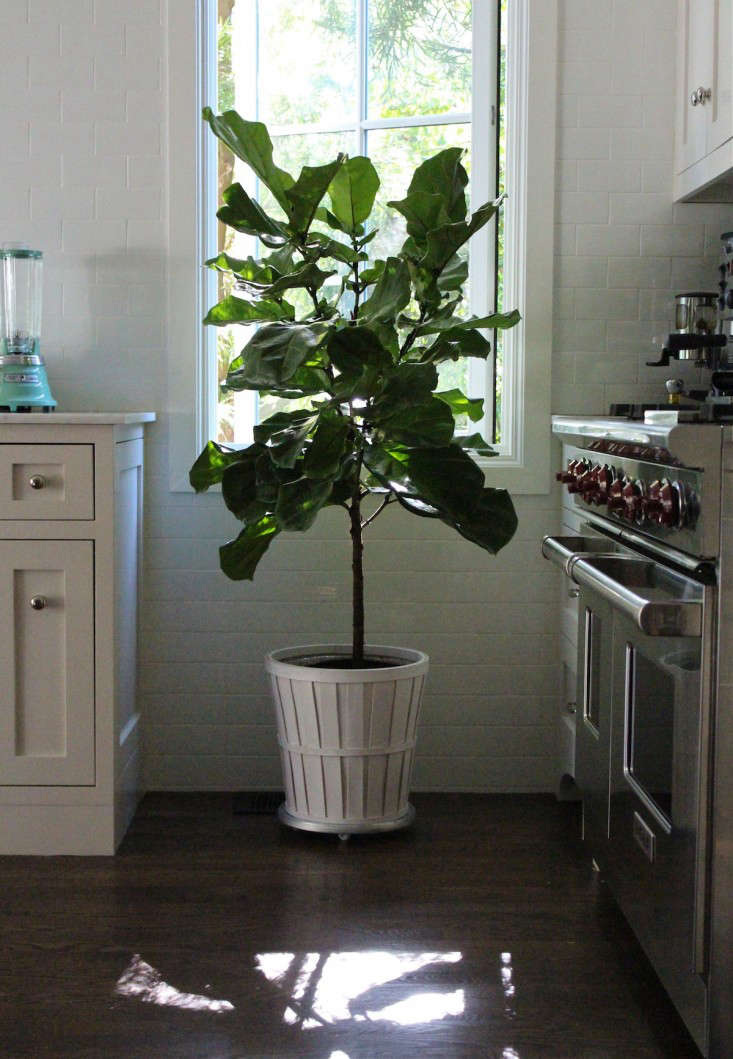 The Fig and I: My First Fiddle Leaf Fig Tree - Gardenista