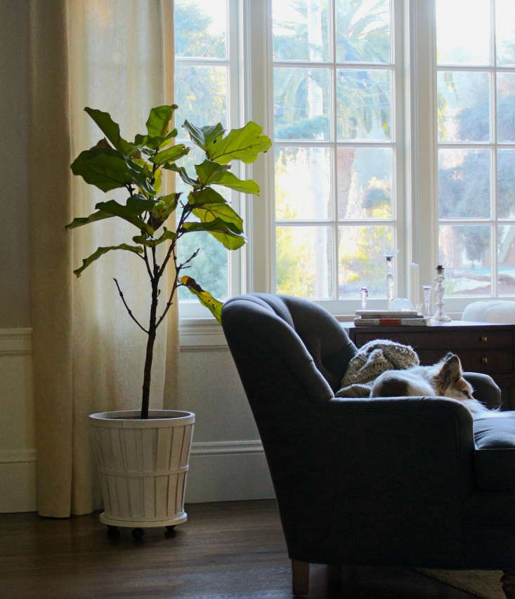 7 secrets how to save a dying fiddle leaf fig tree