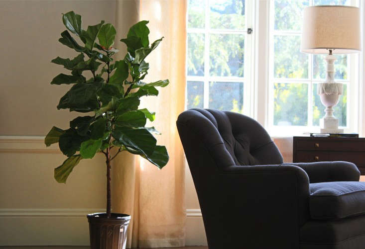Unthinkable House Plant Tree. Happier days  Sigh 7 Secrets How to Save a Dying Fiddle Leaf Fig Tree Gardenista