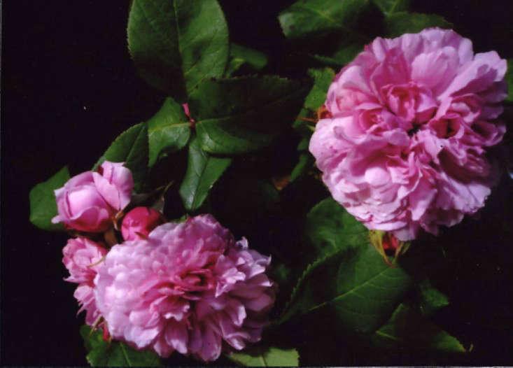 10 easy pieces fragrant roses gardenista. Black Bedroom Furniture Sets. Home Design Ideas