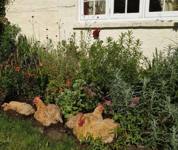 Modern Farmer: 9 Backyard Gardens with Chickens - Gardenista