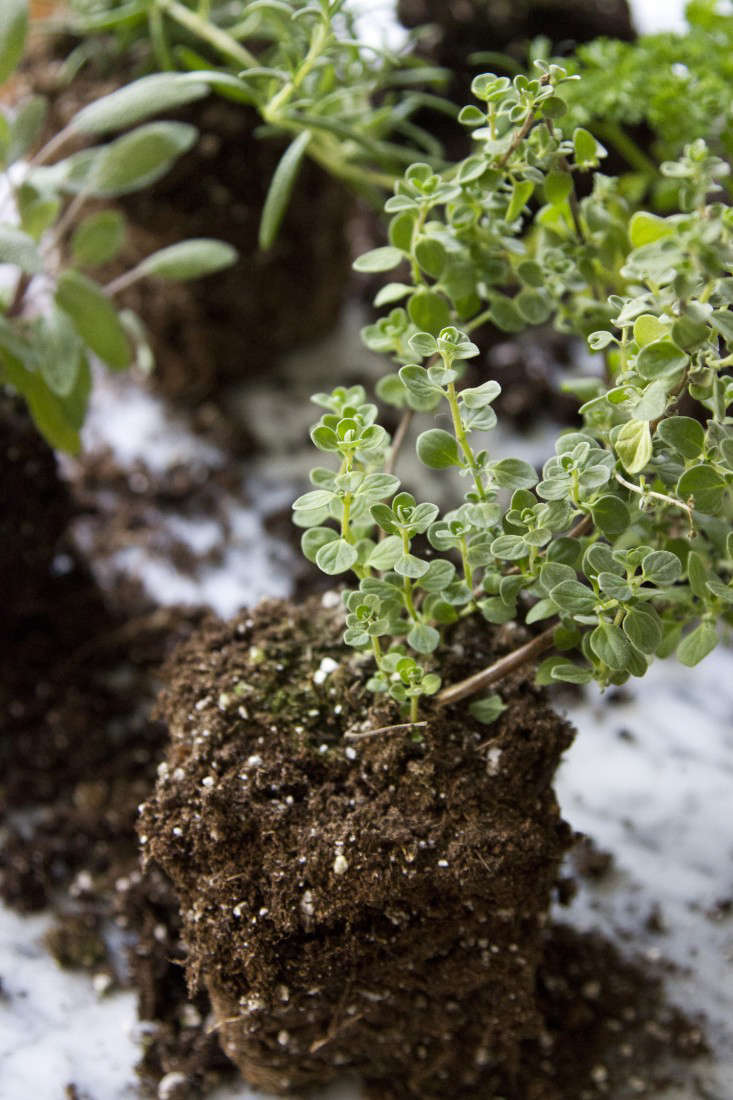 Oregano is a good choice to grow in a countertop herb garden if you have a sunny kitchen. See more in Small Space DIY: Countertop Herb Garden. Photograph by Erin Boyle.