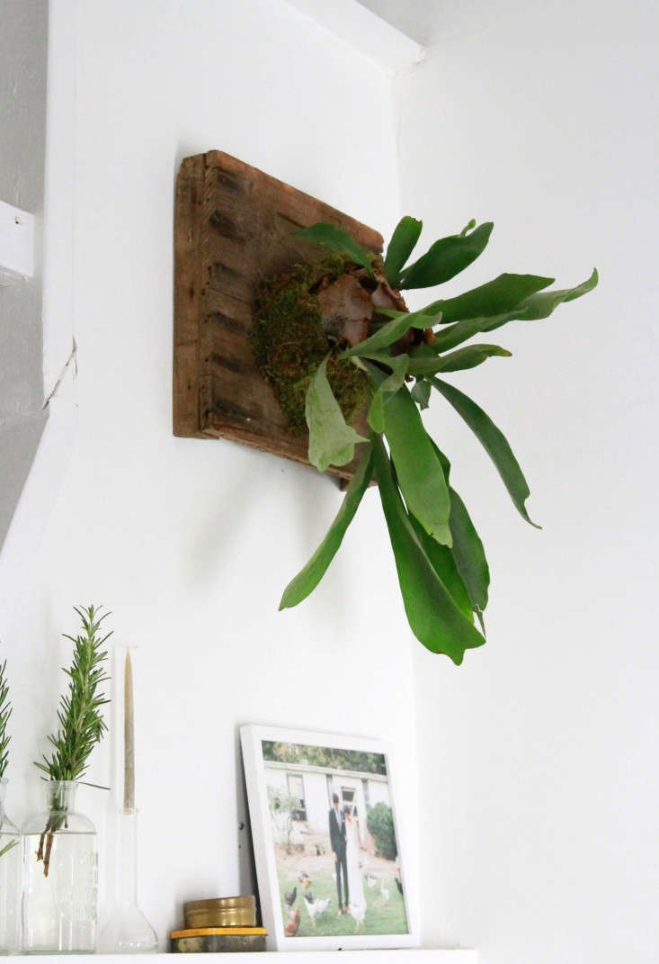 The Fern And I How To Hang A Diy Staghorn Fern Gardenista