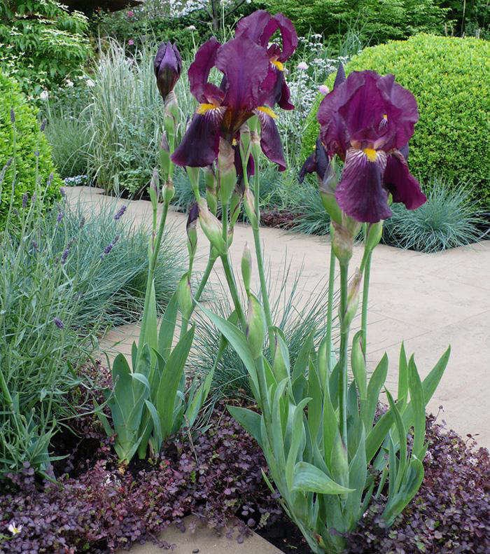 Bearded Or Stinking: How Do You Prefer Your Irises?